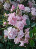 Rosa The Fairy Pink (Poly) Shrub Rose 2L Pot